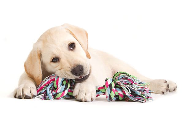 Puppy Training and Chewing on Rope Toy