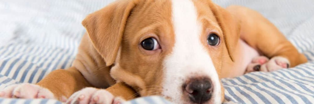 Dog food allergy symptoms with puppy on bed